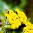 Flowering tansy plant — Stock Photo #38711853