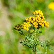 Flowering tansy plant — Stock Photo #38711871
