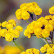 Flowering tansy plant — Stock Photo #38715667