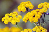 Flowering tansy plant — Stock Photo