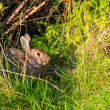 Wild rabbit — Stock Photo #38866625