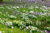 Copos de nieve de primavera y azafrán — Foto de Stock