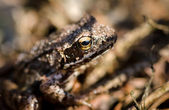 Brown frog — Stock Photo