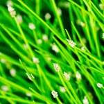 Flowering bulrush — Stock Photo #48756129