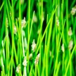 Flowering bulrush — Stock Photo #48756163