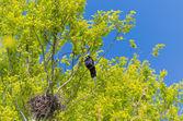 Crow nesting — Stock Photo
