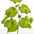 Branch of hop  — Stock Photo