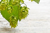 Cones of hop — Stock Photo