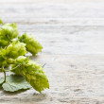 Green plant hops — Stock Photo