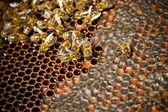 Bees — Photo