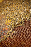 Honey cells — Stock Photo