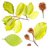 Collection of european beech leaves — Stock Photo