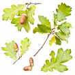 Stock Photo: Oak leaves and acorns