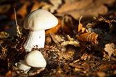Autumn mushroom — Stock Photo
