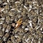 Macro shot of bees — Stock Photo