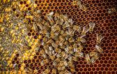 Bijen werken — Stockfoto