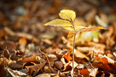 Little european beech — Stock Photo