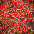 Branch with red berries — Photo