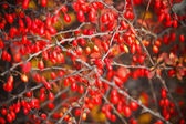 Branch with red berries — Stock Photo