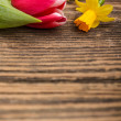 Tulip and daffodil — Stockfoto