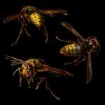 Group of hornet — Stock Photo #25943573