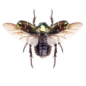 Rose chafer — Stock Photo