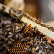Stock Photo: Queen bee