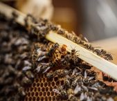 Queen bee — Stock Photo