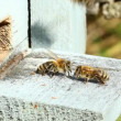 Stock Video: Group of honeybees