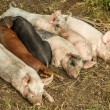 Sleeping piglets — Foto Stock