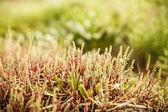 Planta salicornia — Foto de Stock