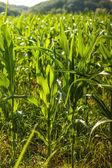 Groene maïs veld — Stockfoto