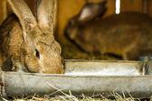 Bruine dwerg konijnen — Stockfoto