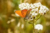 Mariposa de fuego — Foto de Stock