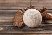 Общий puffball — Стоковое фото