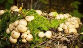 Pilz auf einen Baumstumpf — Stockfoto