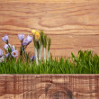 Stock Photo: Violet and yellow crocuses
