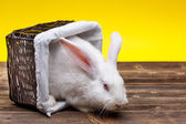Rabbit in wicker basket — Stock Photo