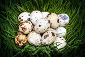 Spotted quail eggs — Stock Photo