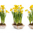 Narcissus flowers — Stock Photo #45154393