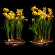 Narcissus flowers — Stock Photo #45850537