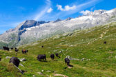 Cattle in the alps — 图库照片