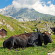 Cows in the swiss alps — Stock Photo #45370547