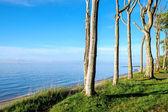 Beech trees at the Baltic Sea — Stock Photo