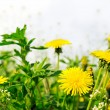 Dandelions — Stock Photo #14072222