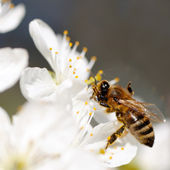 Bee collects flower nectar — Stock Photo