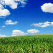 Stock Photo: Maize field