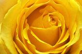 Rosa amarela — Fotografia Stock