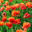 Poppies - Foto Stock