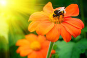 Bumble bee pollinating a flower — Stock Photo